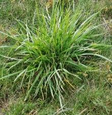 Tall Fescue— (Festuca arundinacea)