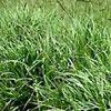 Bahiagrass— (Paspalum notatum)