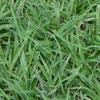 Bermuda Grass— (Cynodon dactylon)