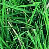 Buffalo Grass— (Buchloe dactyloides)